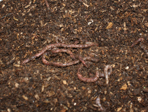 Worms are quick to burrow when exposed to light.