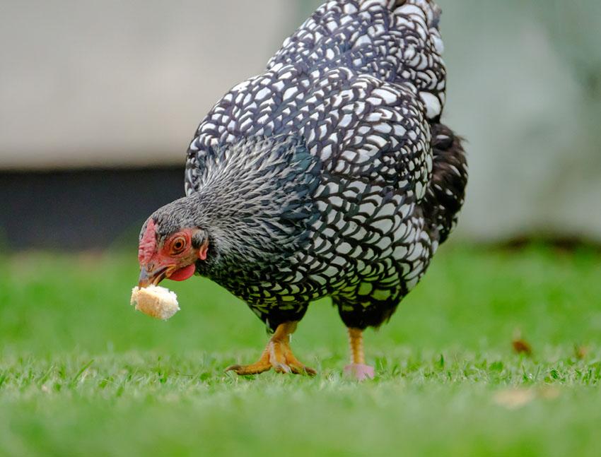 Keeping Chickens in Indiana, Iowa, Kansas, Kentucky   Laws