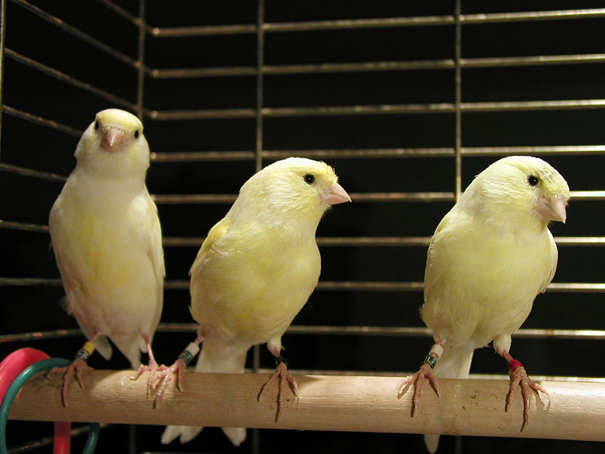 Young yellow canaries