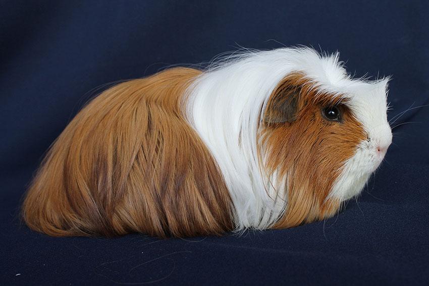 a guinea pig posing