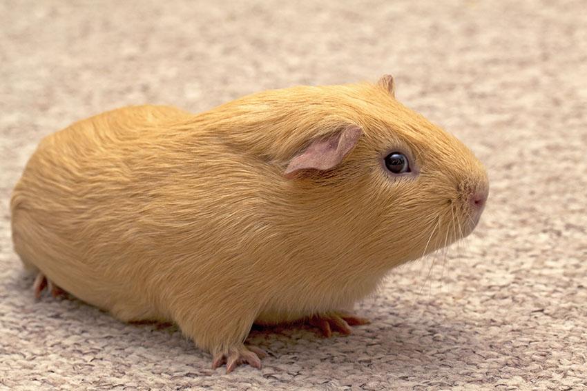 a guinea pig roaming