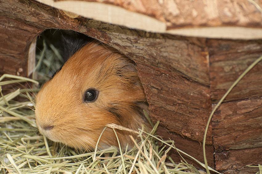 a snug guinea pig