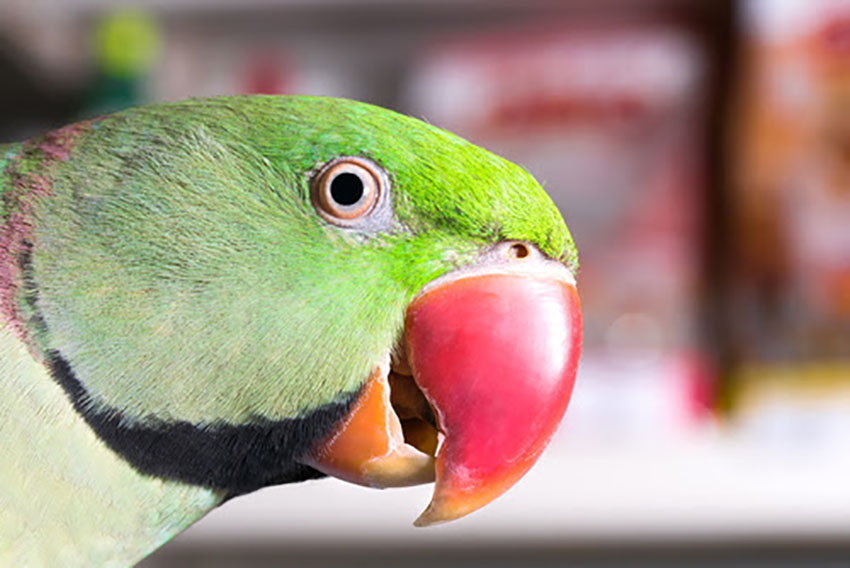 Alexandrine Parakeets are named after Alexander the Great