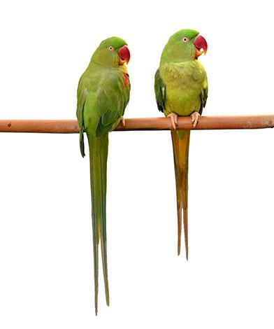 Alexandrine Parakeet pair