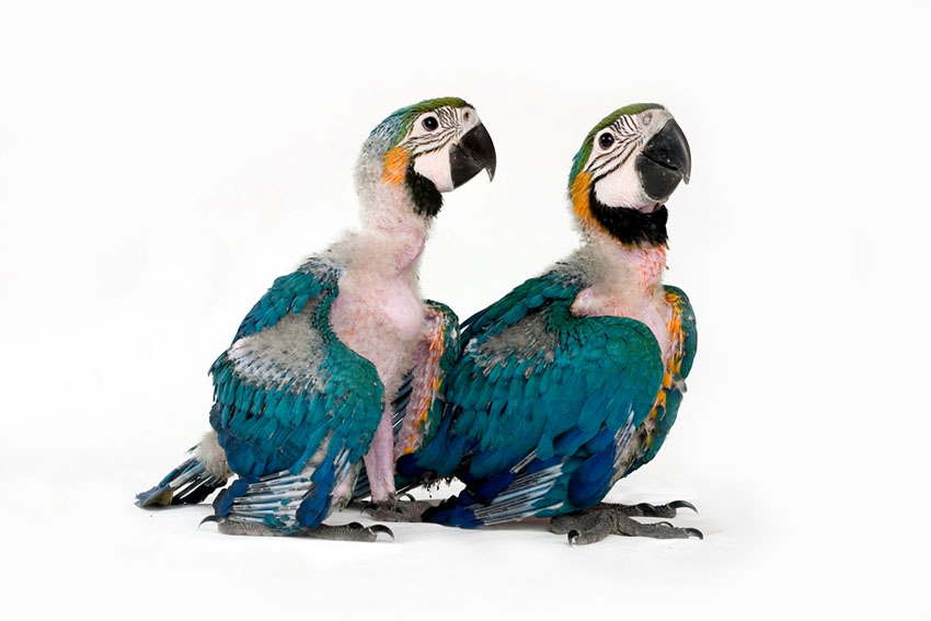 Blue and yellow macaw chicks sporting their first feathers