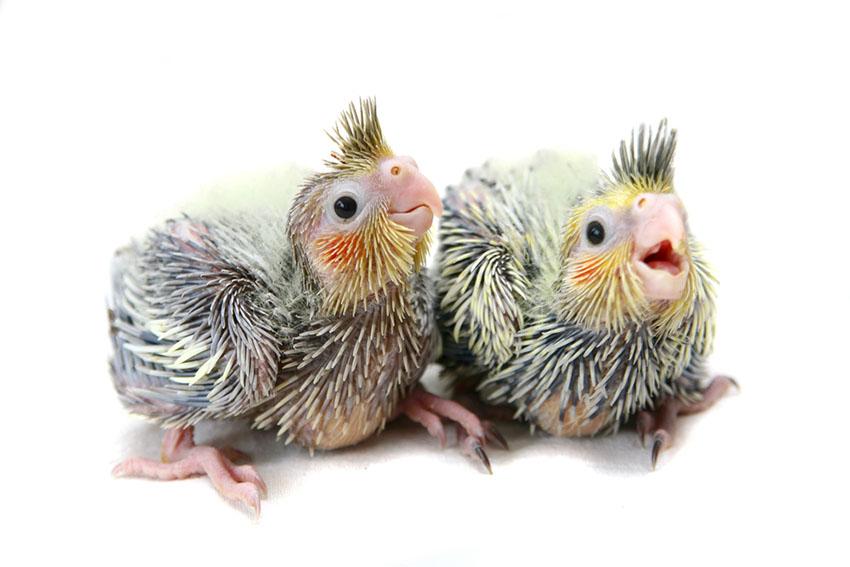 Cockatiel chicks