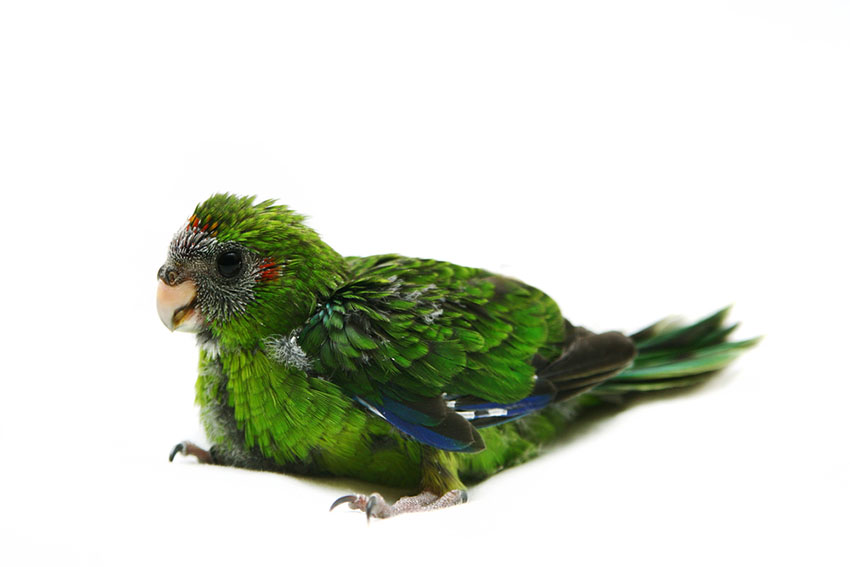 A red-crowned parakeet chick