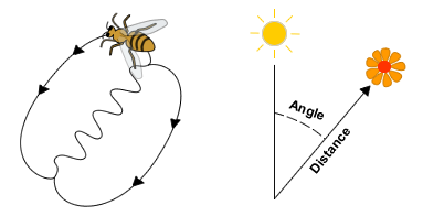 A_honey_bee_waggle_dance