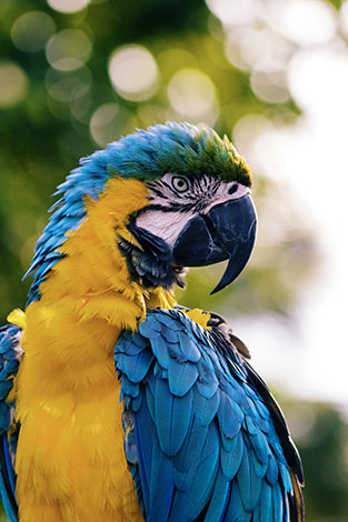 Blue and Gold or Blue and Yellow Macaw