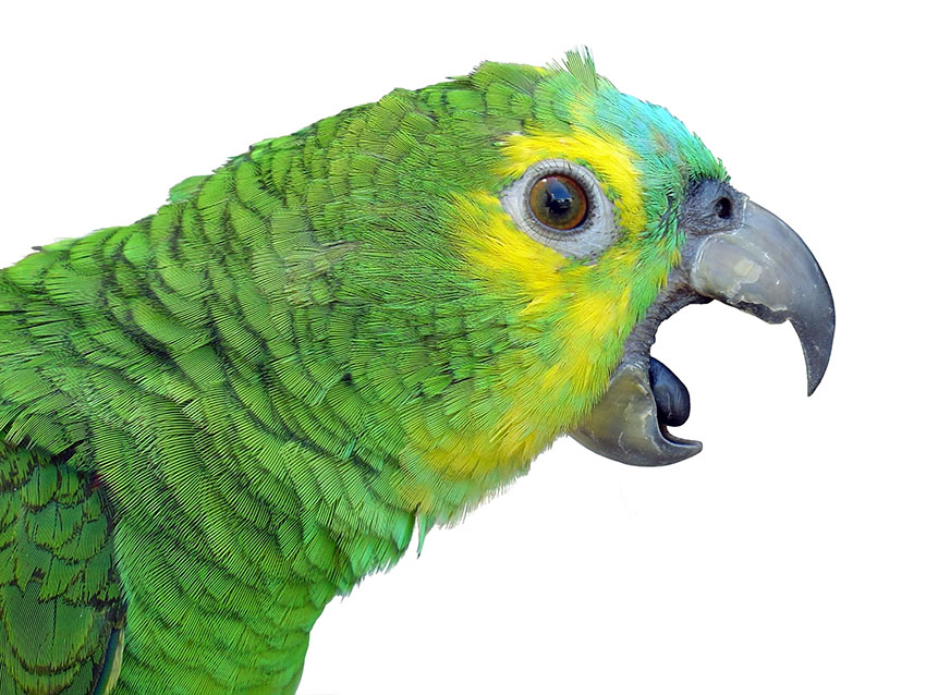 Blue-fronted Amazon beak