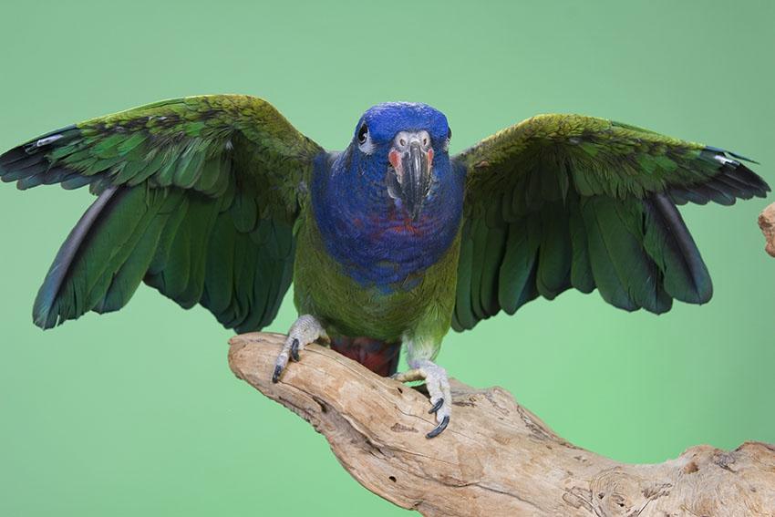 blue-headed-parrot-wings