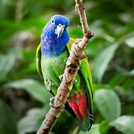 Blue headed parrot in aviary