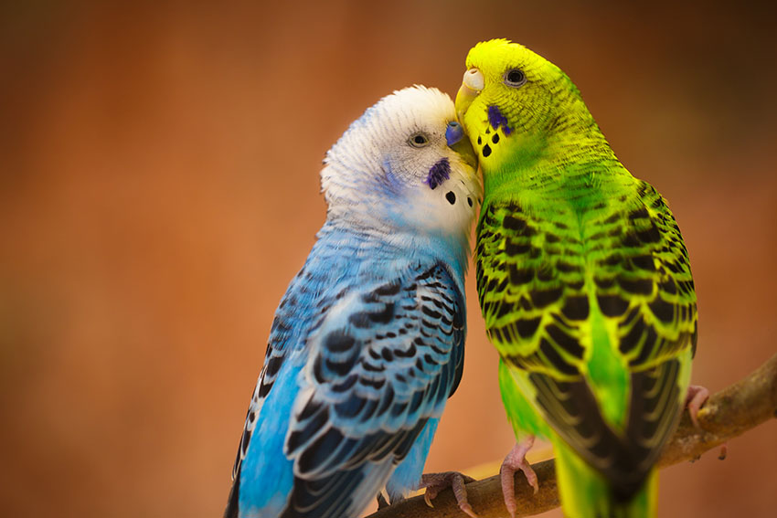 blue and green budgie pair