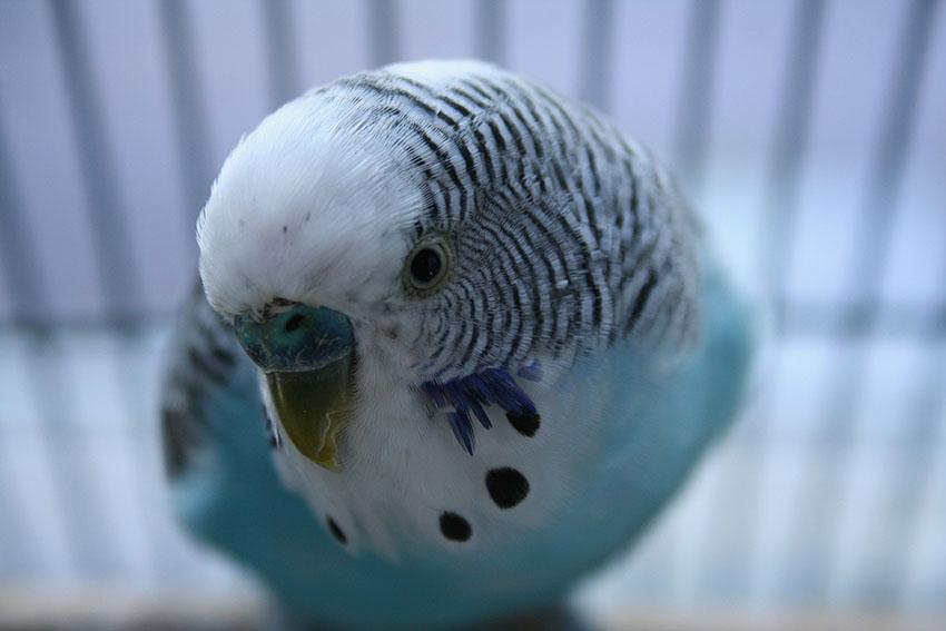Blue budgie closeup