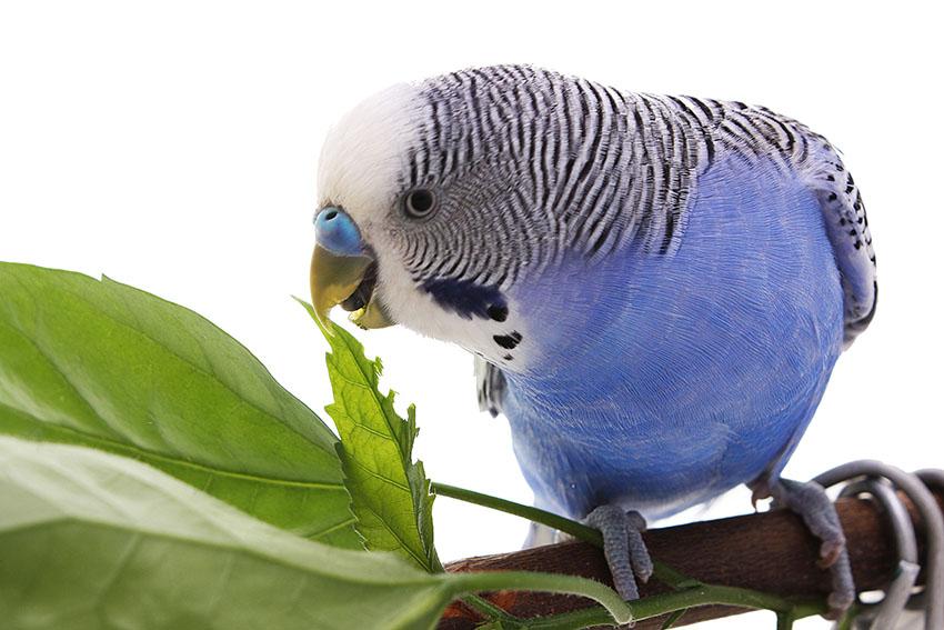 Blue budgie eating herbs