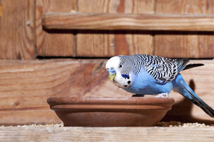 Blue budgie feeding from bowl