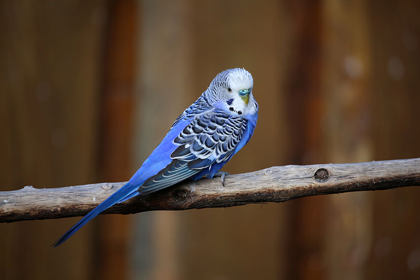 Nesting and breeding budgie guide guide omlet uk blue budgie on a wooden perch forumfinder Gallery