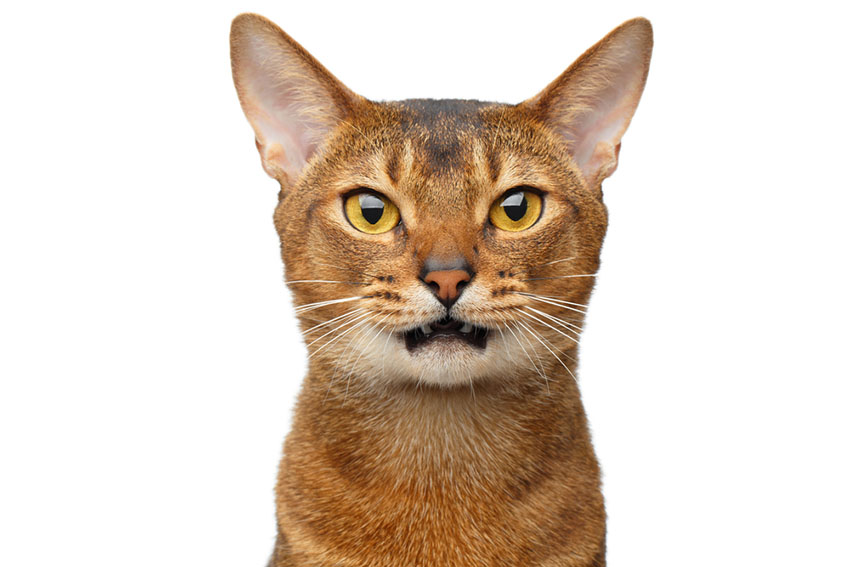 This handsome Abyssinian traces its ancestry back to the African Wildcat