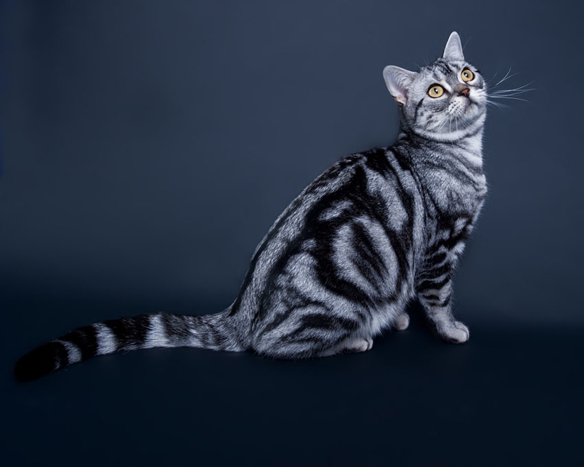 American Shorthair cat having a good look round her new territory.