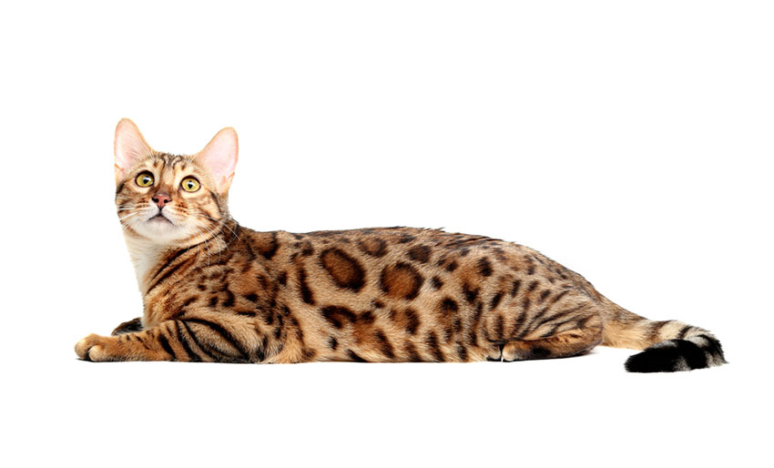 Bengal cat breed