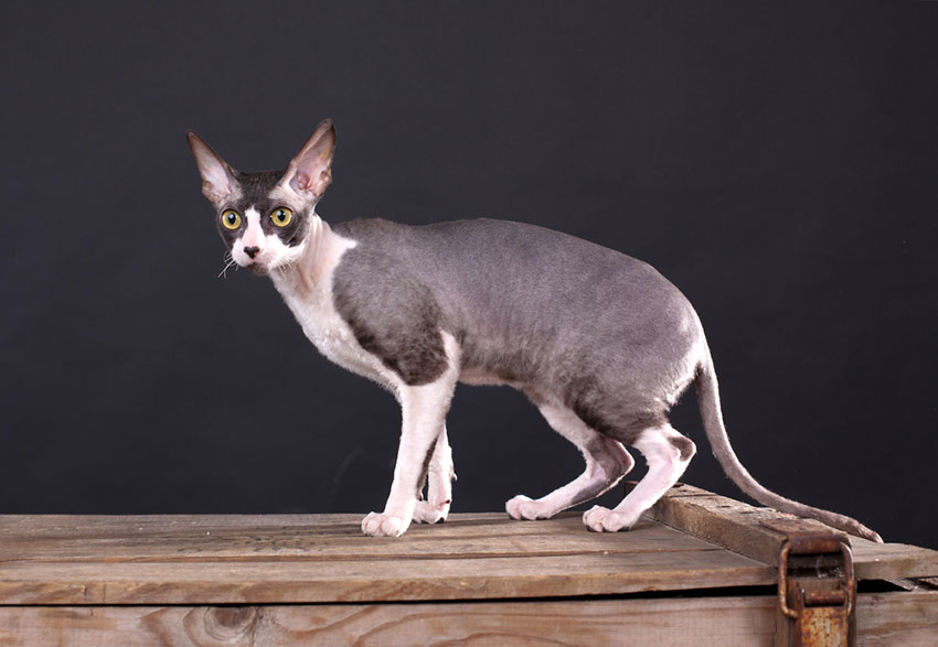 Cornish Rex pedigree cat breed