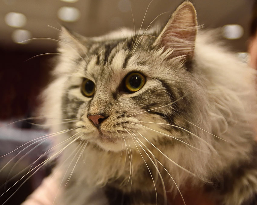 Most cat breeds shed hair including this Kurilian Bobtail Longhair cat