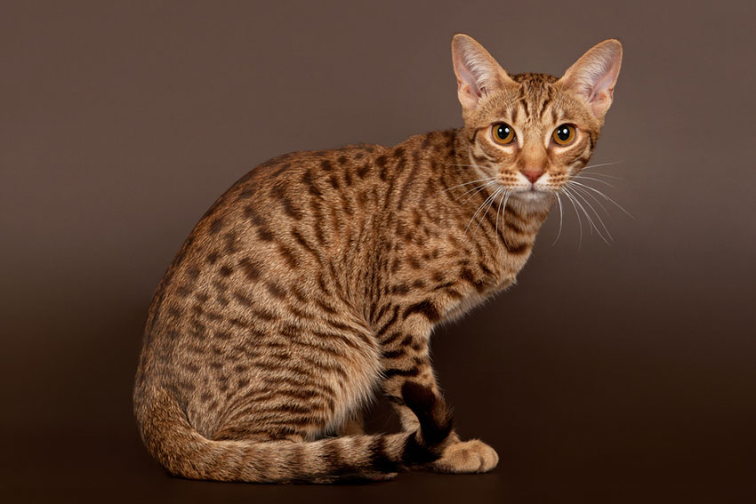 Ocicat breed