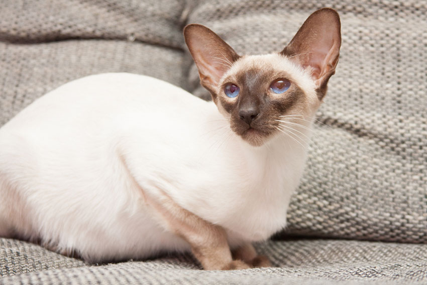 A Bluepoint Siamese Cat