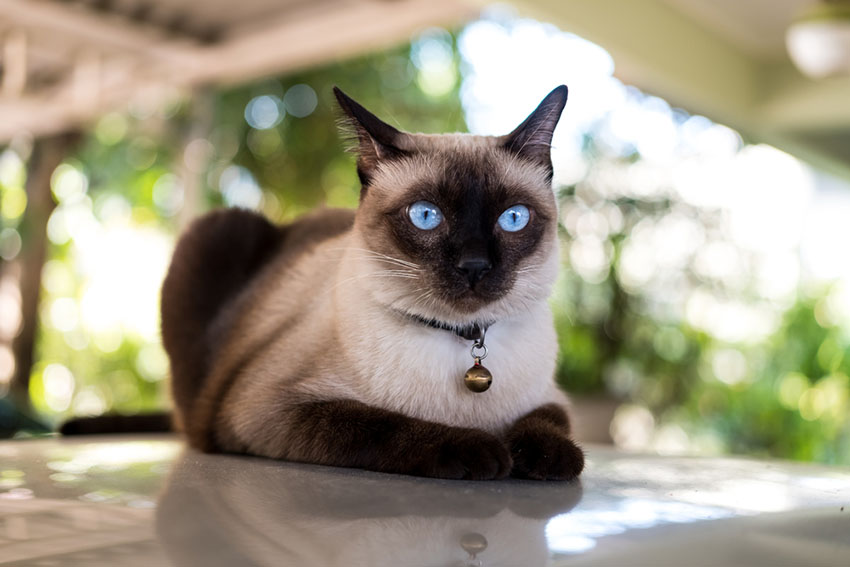 A beautiful Siamese cat