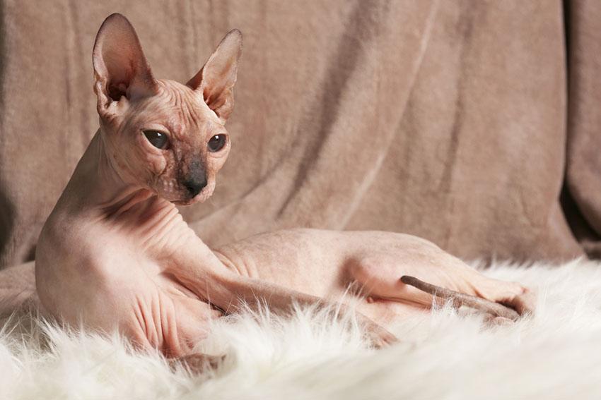 Sphynx hairless cat breed