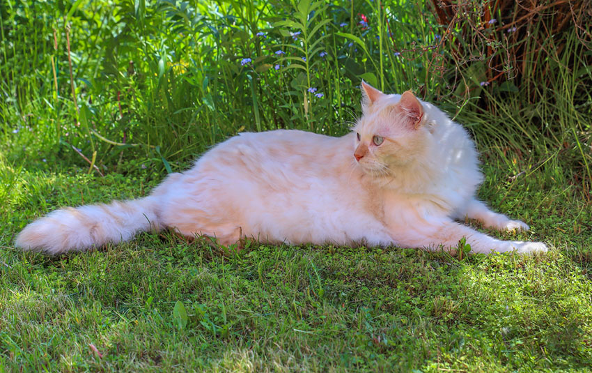 A Turkish Angora cat - mixing some exercise in her feeding regime will do no harm at all