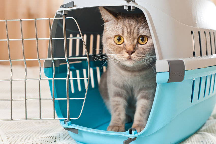 Bringing a cat home in a cat carrier