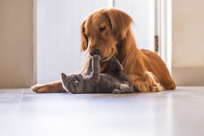 British Shorthair cat playing with a dog