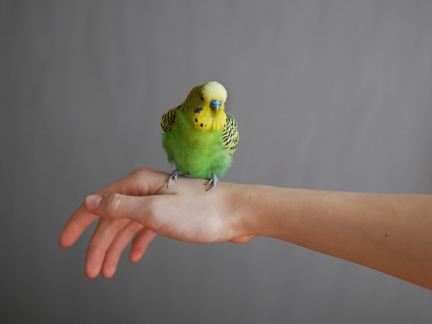 parakeet perched on hand