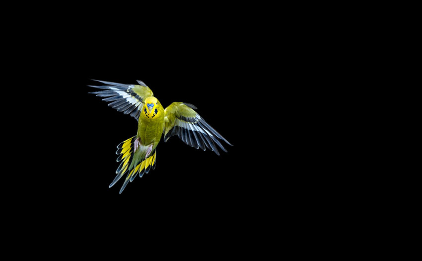Budgies in flight