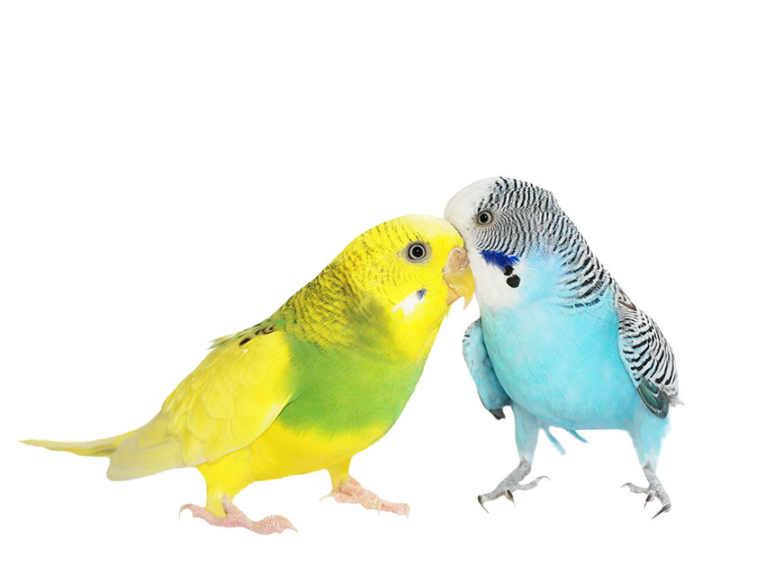 What does the word budgerigar mean?