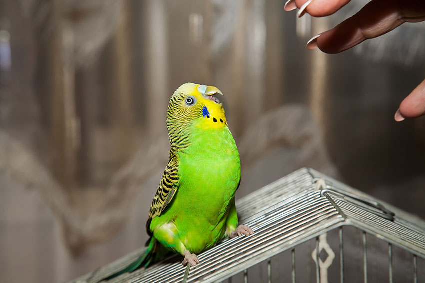 budgie aggression