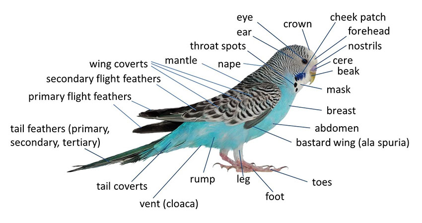 Budgie Anatomy | Biology and Lifecycle | Budgie Guide | Guide | Omlet UK