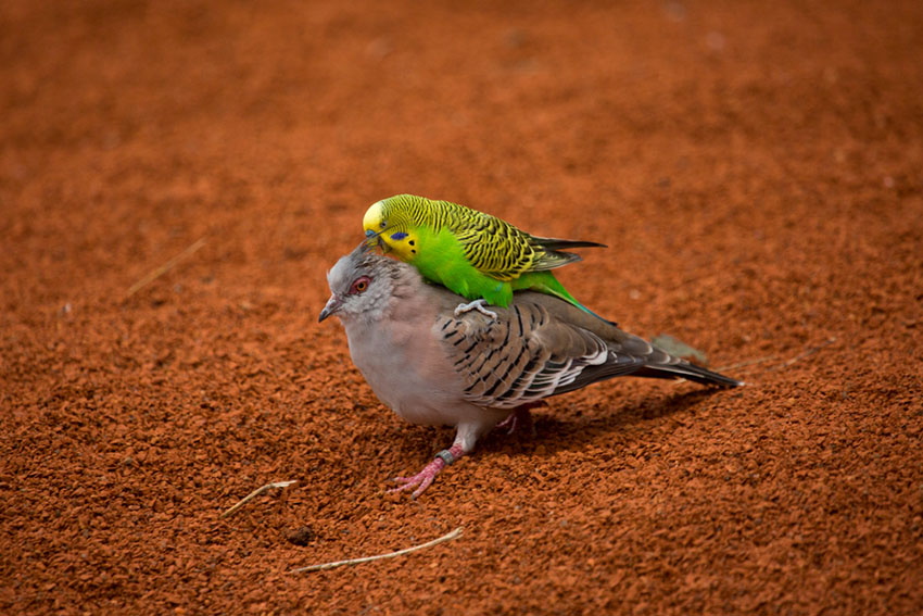 budgie and crested pigeon
