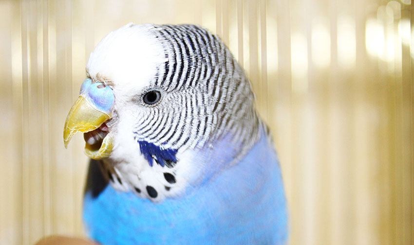 budgie anger