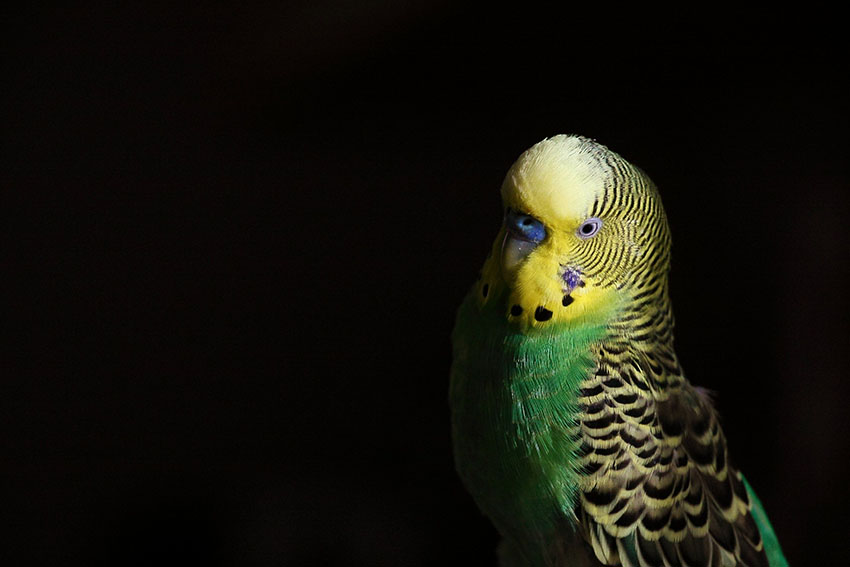 Budgie at night
