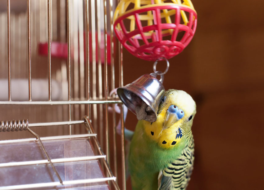 Budgie bell