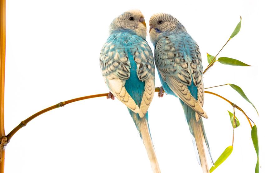 spangle parakeet