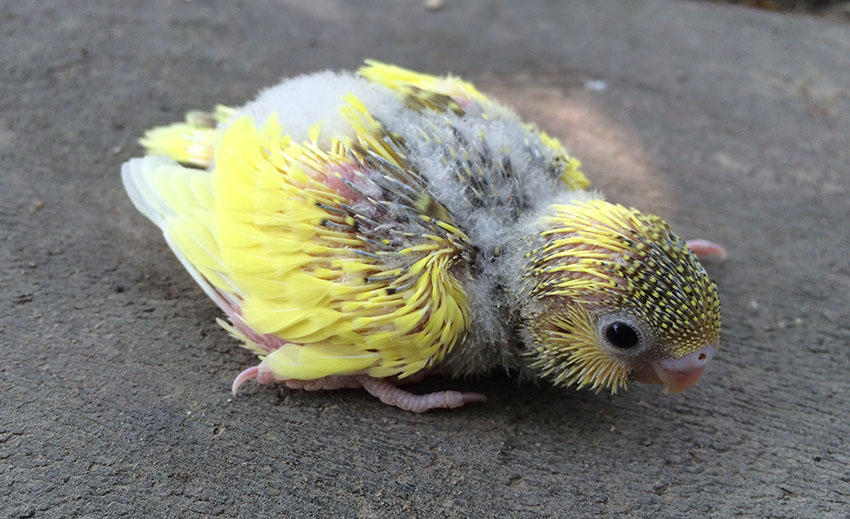 Budgie chick three weeks old