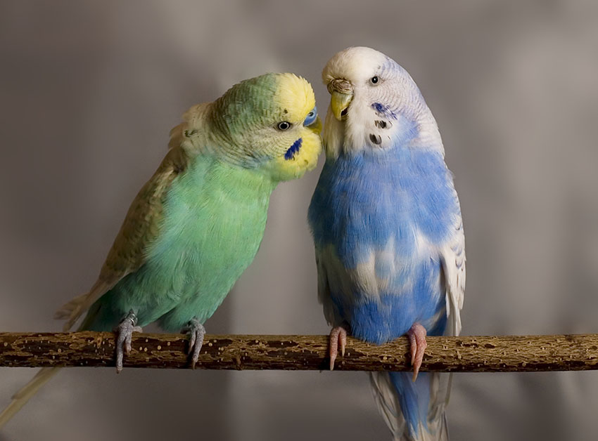 Budgie Behaviour | Budgie Guide | Guide | Omlet UK