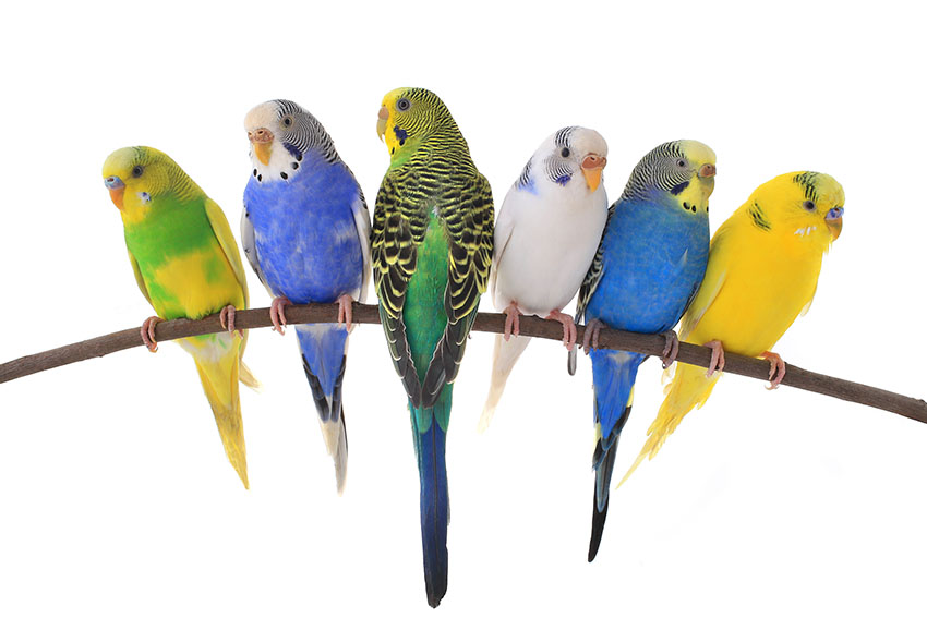 parakeet colour varieties