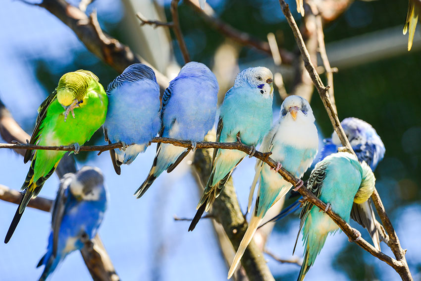 budgie_colours