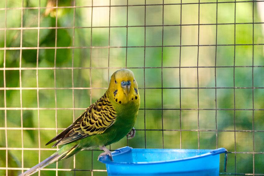 parakeet illness