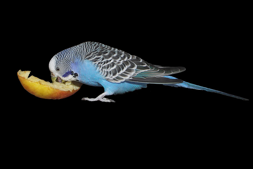 Feeding budgies fresh food budgie food budgie guide guide budgies enjoy fresh apples forumfinder Gallery