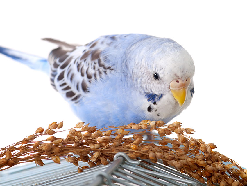 budgie eating on cage